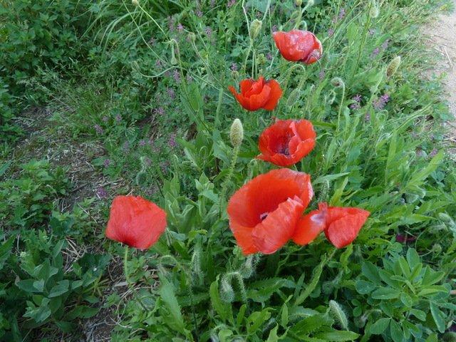 Primavera Rosella de J Taberner